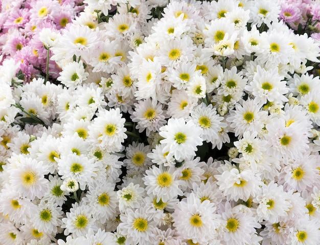Bouquet de chrysanthèmes blancs.