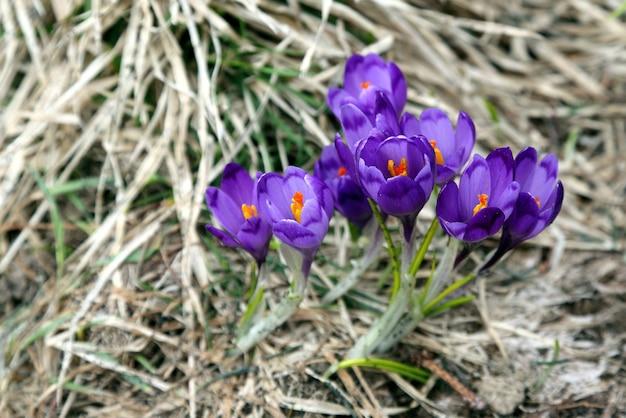 Un bouquet de crocus au printemps le sol