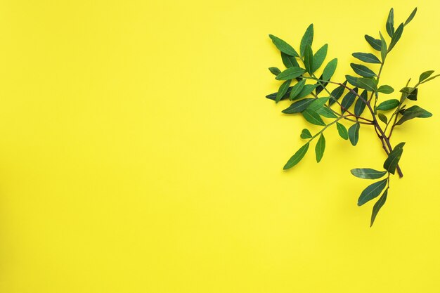 Bouquet de feuilles d'eucalyptus vert sur jaune