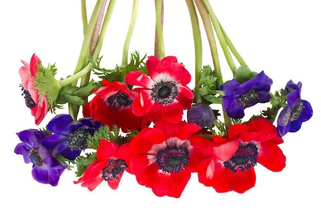 Bouquet de fleurs d'anémone bleu et rouge isolé sur mur blanc