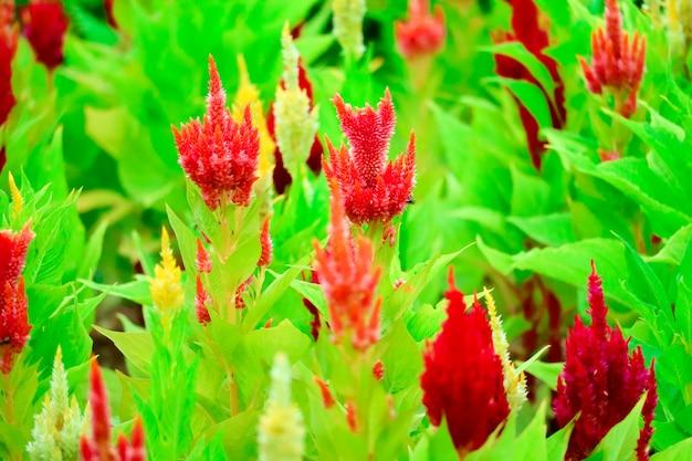 Le bouquet de fleurs de celosia fleurit dans le jardin en été
