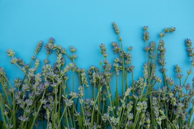 Bouquet de fleurs de lavande isolé sur fond bleu