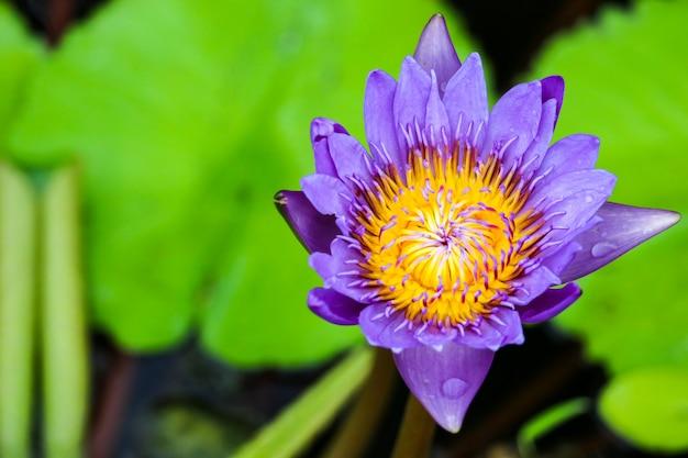 Bouquet de fleurs de lotus qui fleurit à la surface dans le marais