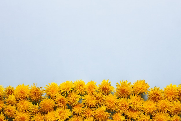 Un bouquet de fleurs de pissenlit jaune est situé en bas du cadre sur un bleu pastel