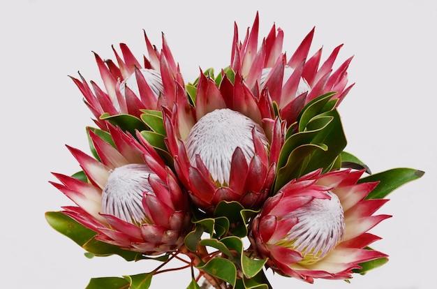 Bouquet de fleurs de protea rouge isolé sur fond noir