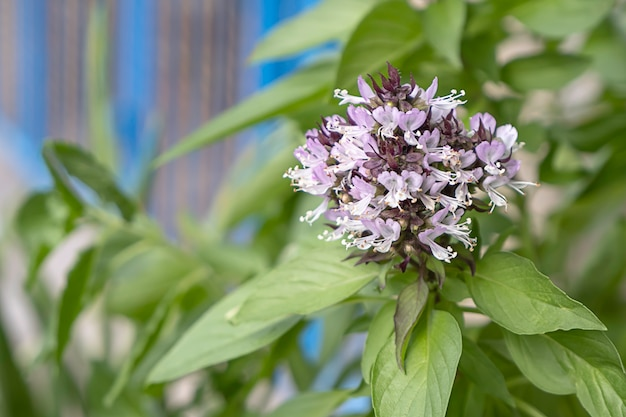 Bouquet de fleurs violet clair d'ocimum basilicum arbre flou d'arrière-plan.