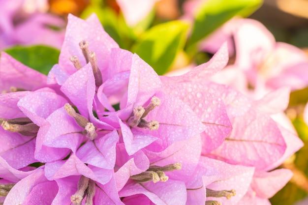 Bouquet de fleurs violettes, bougainvilliers.
