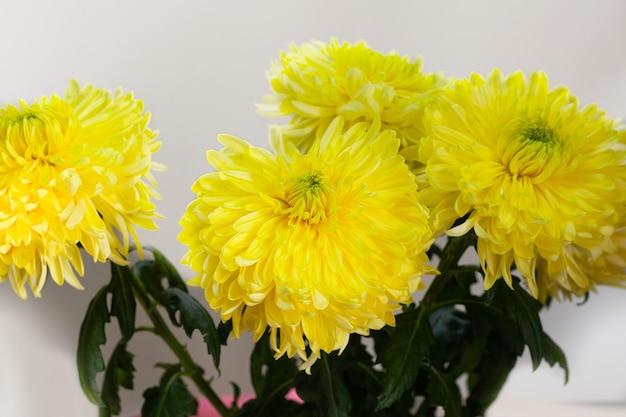 Bouquet de grandes fleurs de chrysanthème jaune. derrière le fond blanc.