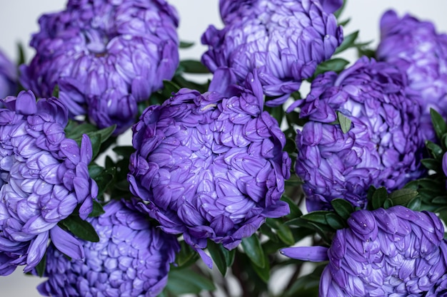 Bouquet de gros plan de chrysanthèmes bleus sur un arrière-plan flou.