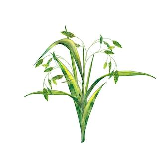 Bouquet d'herbe verte fraîche d'été réaliste avec des épillets. peinture à l'aquarelle.