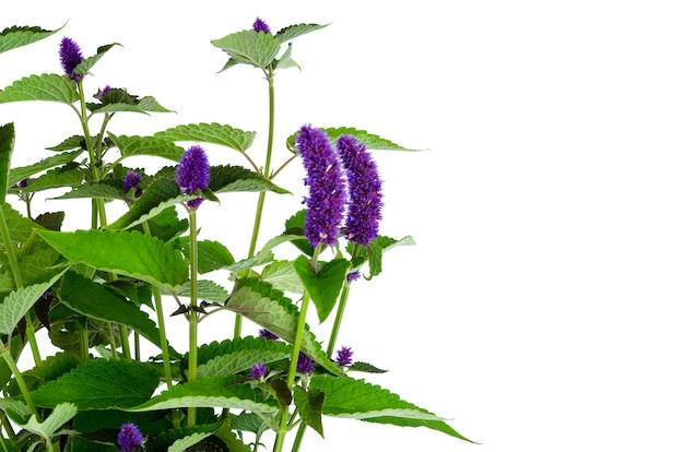 Bouquet d'herbes aromatiques fraîches avec des inflorescences bleues