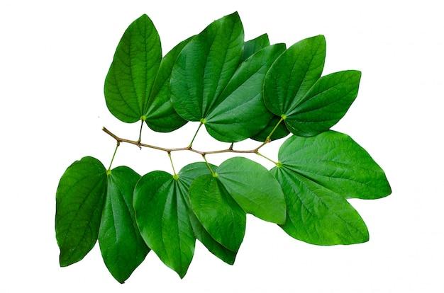 Le bouquet isolate de feuilles de chongkho décore le motif