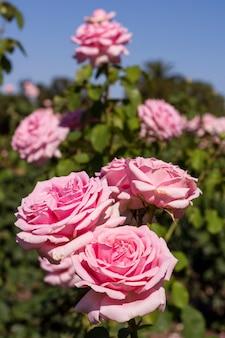 Bouquet de jolies roses roses dans la nature