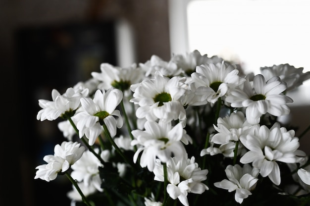 Un bouquet de marguerites blanches dans les rayons de lumière. gros plan, blanc, fleurs