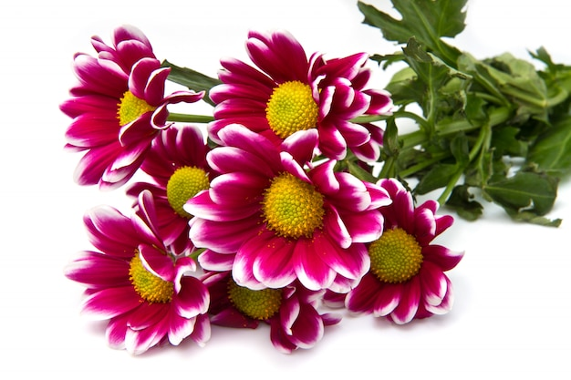 Un bouquet de marguerites roses