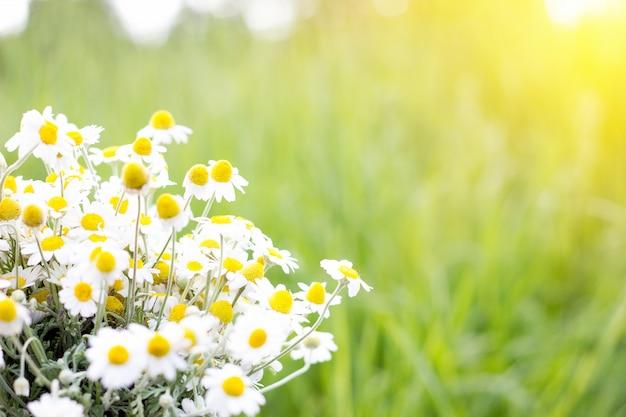 Bouquet de marguerites sur le terrain, gros plan, fond naturel