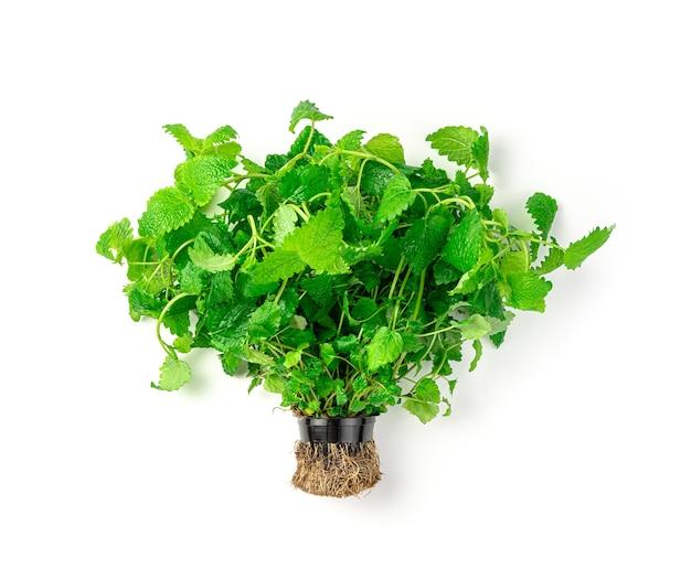 Un bouquet de menthe fraîche dans un pot avec des racines est isolé sur fond blanc. vue de côté.