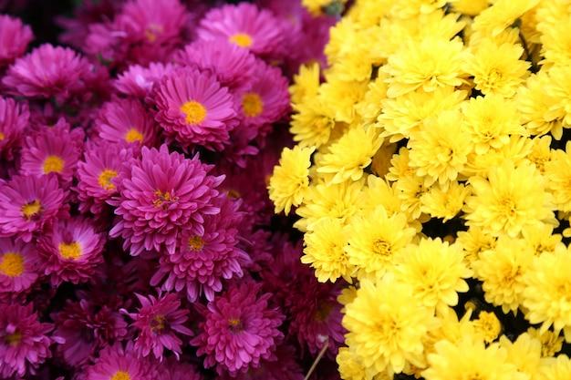 Bouquet de nombreuses fleurs de chrysanthèmes jaunes et violets. profondeur de champ.