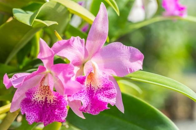Bouquet d'orchidée cattleya violette, dans un style flou.