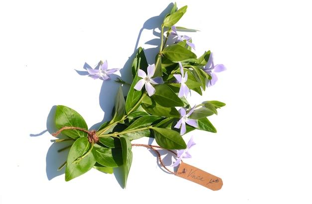 Bouquet de pervenche (vinca minor) sur une surface blanche. une étiquette indique le nom de la plante