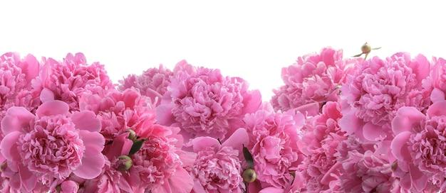 Bouquet de pivoines en fleurs pour design floral isolé