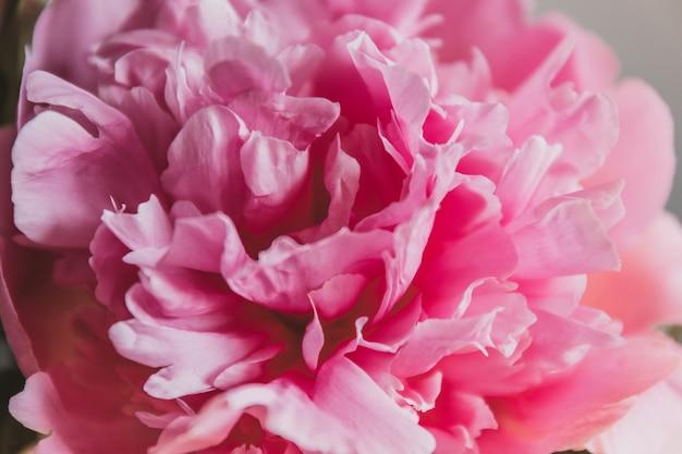 Bouquet de pivoines roses isolé sur mur gris.
