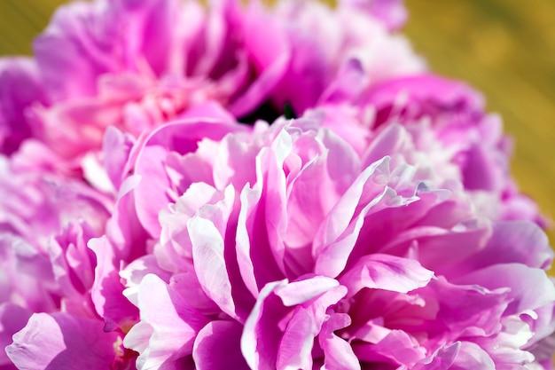 Un bouquet de pivoines roses utilisé pour donner à diverses occasions, les détails de l'inflorescence