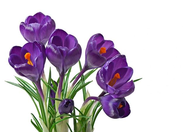 Bouquet de printemps de crocus violets isolé