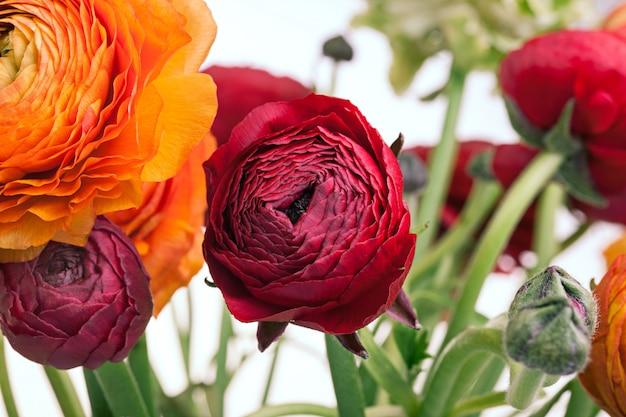 Bouquet de ranunkulyus de fleurs rouges sur un espace blanc. carte de voeux