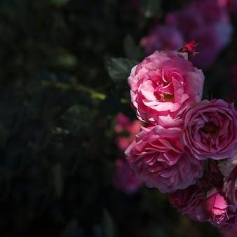 Bouquet de roses sur le buisson