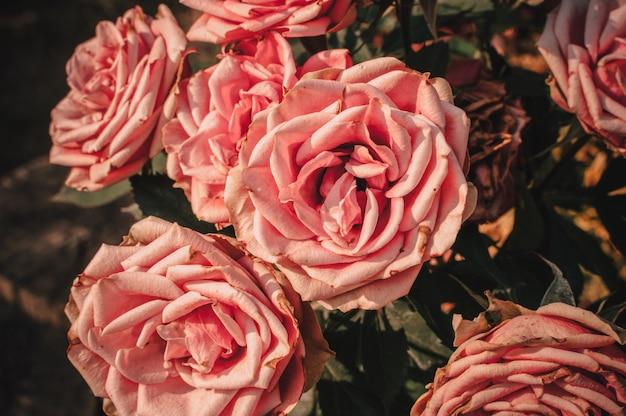 Bouquet de roses dans le jardin