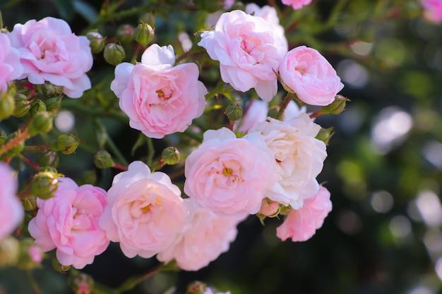 Bouquet de roses roses avec des feuilles magnifiques sur une branche d'arbre