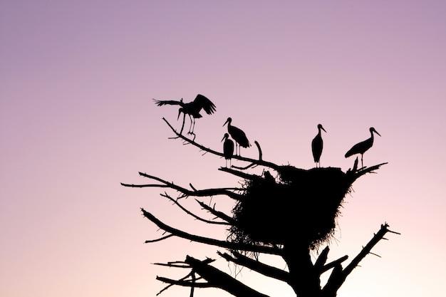 Bouquet de silhouettes d'oiseaux cigognes sur un arbre mort avec nid au coucher du soleil.