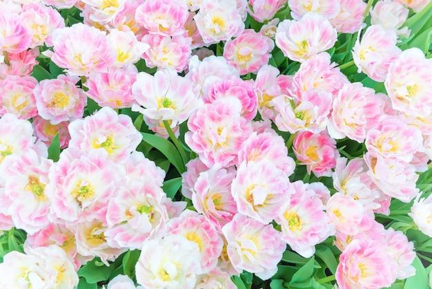 Bouquet de tulipes de fleurs roses comme texture naturelle pour le fond