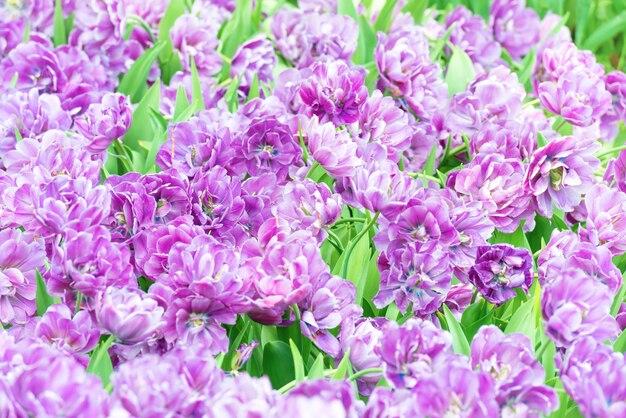 Bouquet de tulipes fleurs violettes comme texture naturelle pour le fond
