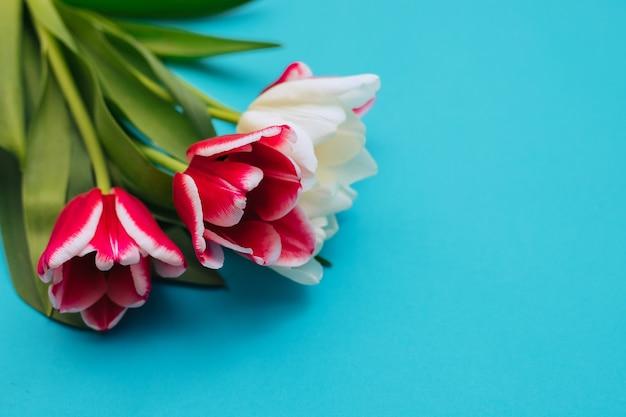 Un bouquet de tulipes roses et blanches sur fond bleu.un beau bouquet festif. carte postale du 8 mars et de la saint-valentin.