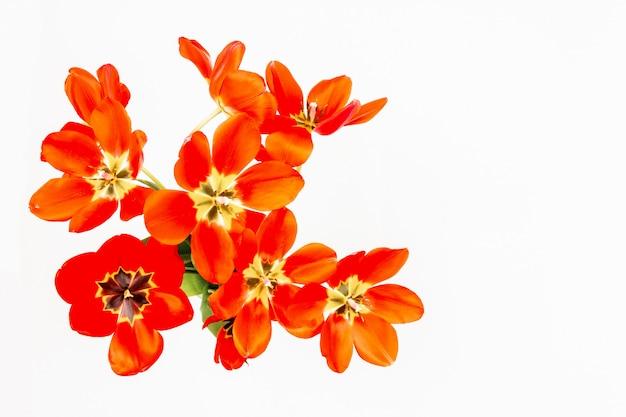Bouquet de tulipes rouges à boutons ouverts sur fond blanc