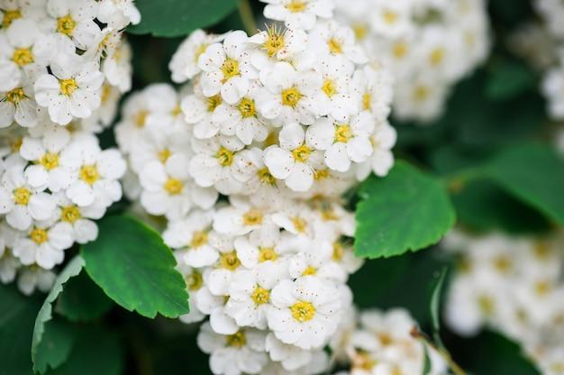 Bouquets d'arbustes à fleurs blanches fond dans le parc du printemps