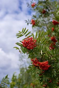 Bouquets rouges de rowan sur des branches vertes
