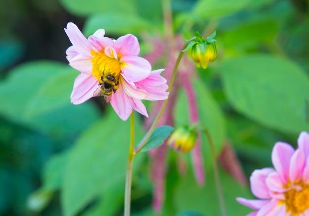 Bourdon sur une fleur rose