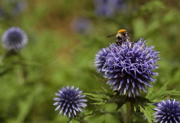Bourdon sur fleurs bleues echinops