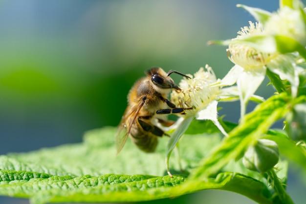 Bourdon ramassant du pollen sous le soleil d'été