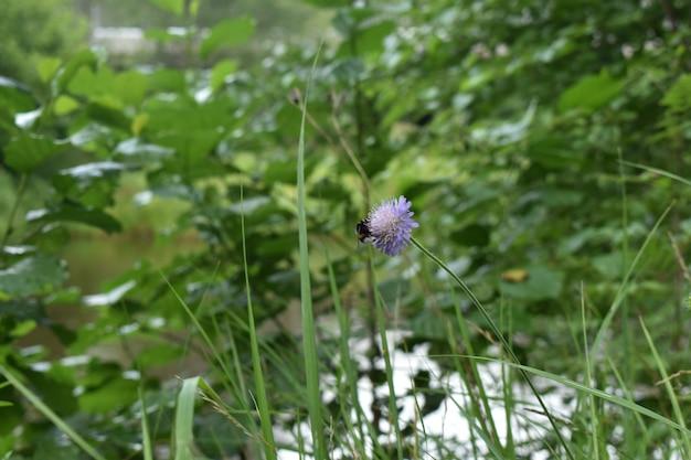 Le bourdon se repose sur une fleur dans les bois