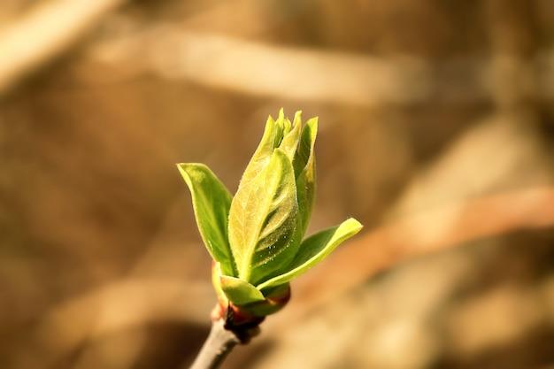 Bourgeon d'arbre vert printemps