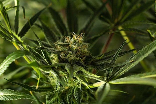 Bourgeon de cannabis. plantes de marijuana. macrophotographie. mise au point sélective.