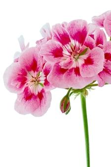 Bourgeon en fleurs d'une fleur de géranium vivace isolé sur fond blanc