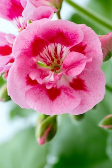 Bourgeon en fleurs de fleurs de géranium vivace dans le jardin d'été.