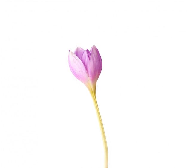 Bourgeon non soufflé d'une fleur de crocus mauve sur une longue tige