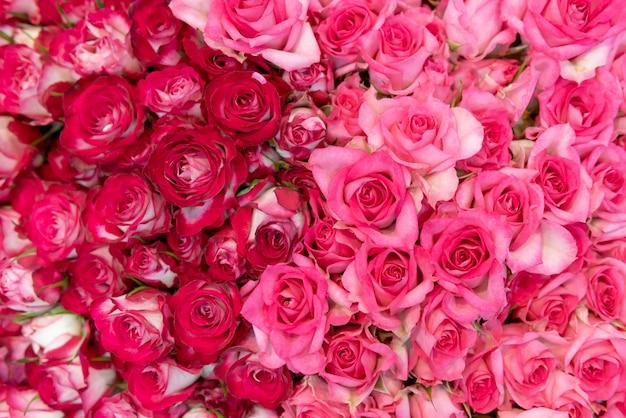 Bourgeons de belles roses fraîches rouges et blanches.