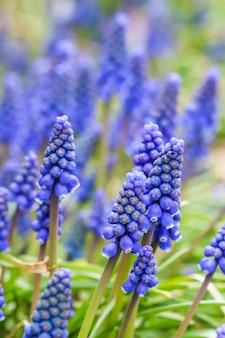 Bourgeons bleus fleurs muscari armeniacum ou jacinthe de raisin